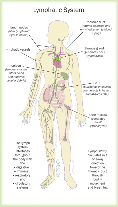 the lymphatic system and your health – women's health network, Cephalic Vein
